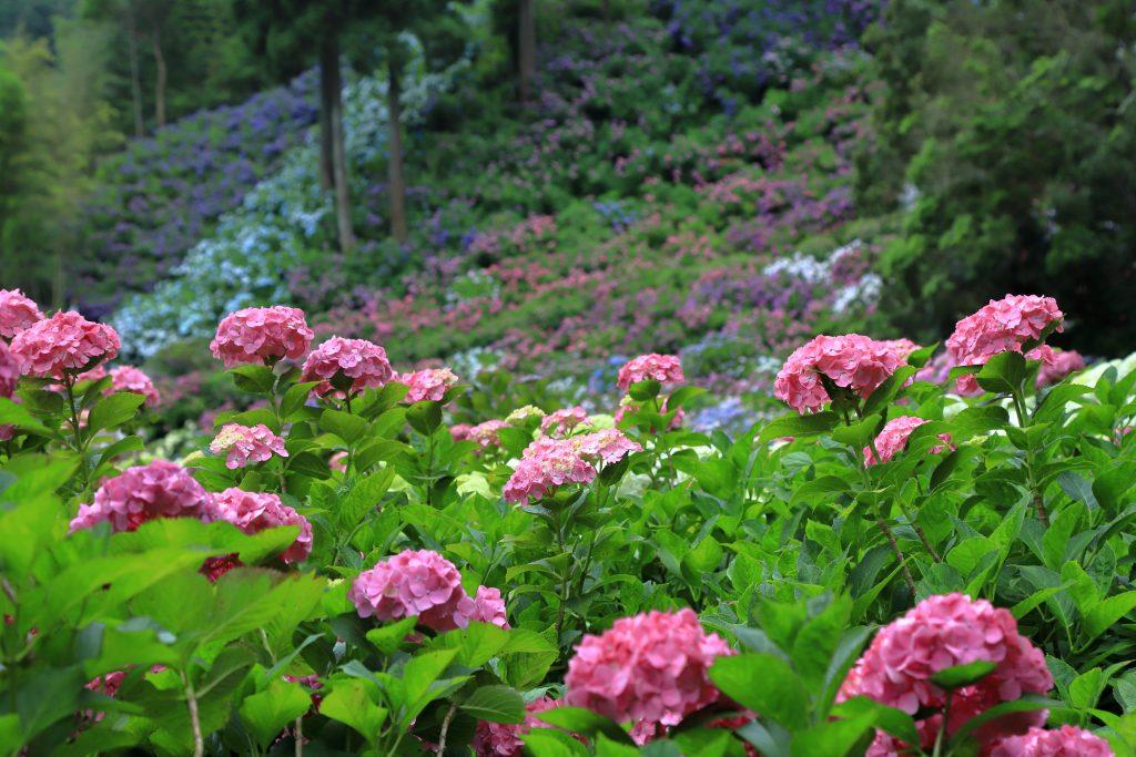 服部農園あじさい屋敷の紫陽花の様子
