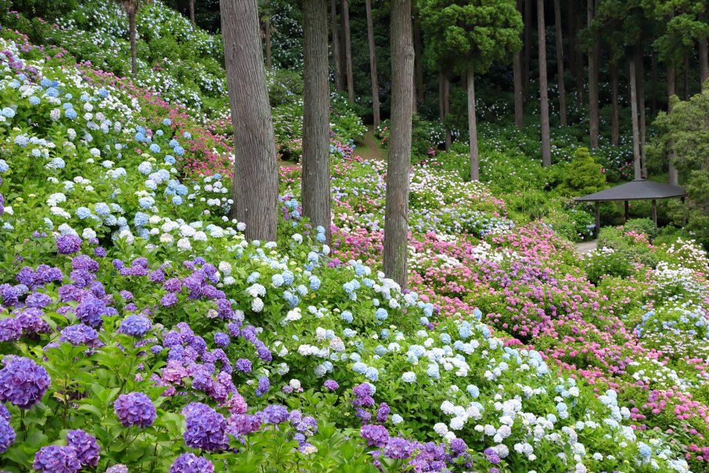 服部農園あじさい屋敷の紫陽花と東屋の様子