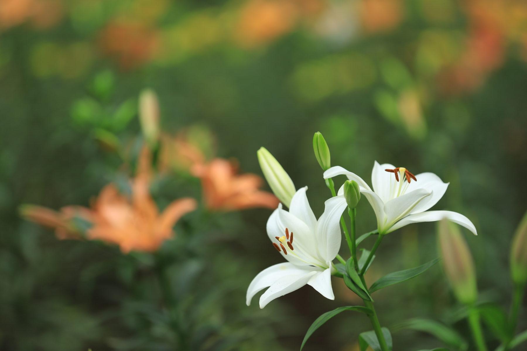 千葉県の撮影・観光スポット『村上緑地公園』はユリの名所