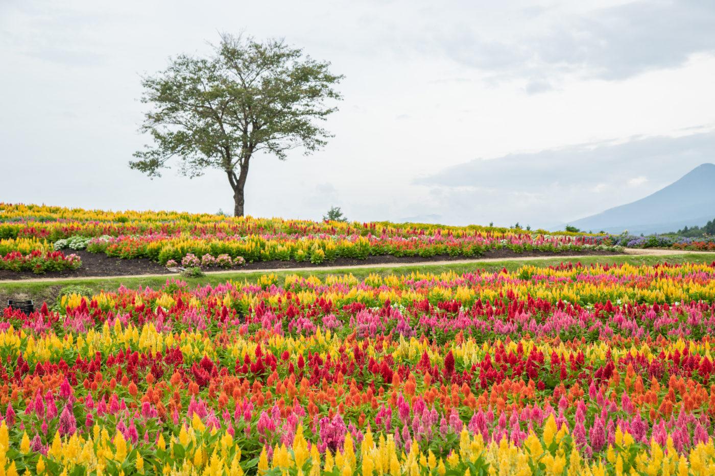 那須フラワーワールドのケイトウの花画像