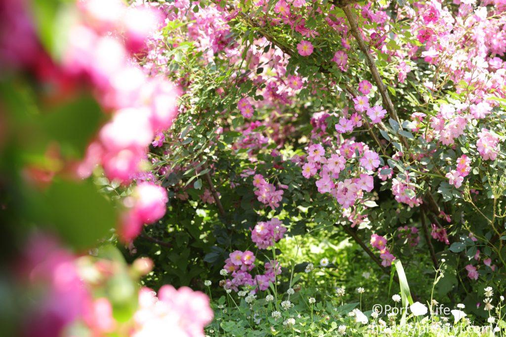 マクロレンズでバラを遠景から撮影した風景写真