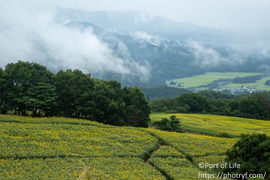 福島県の三ノ倉高原ひまわり畑