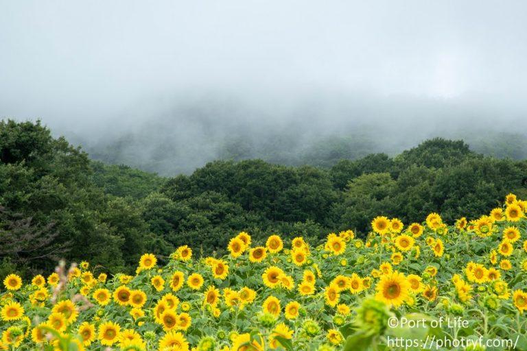 三ノ倉高原に広がる一面のひまわり