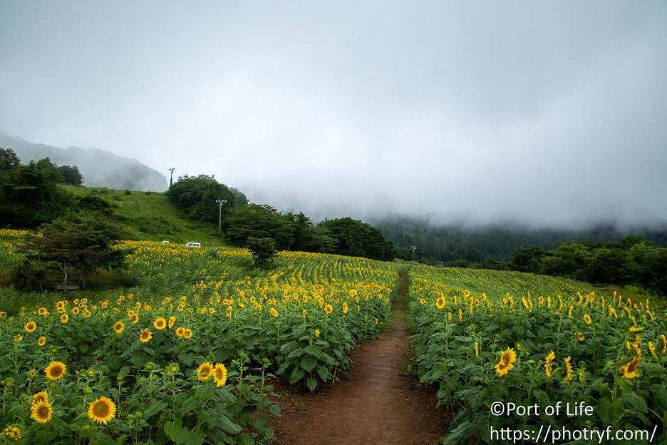 三ノ倉高原のひまわりフェスタの開花状況