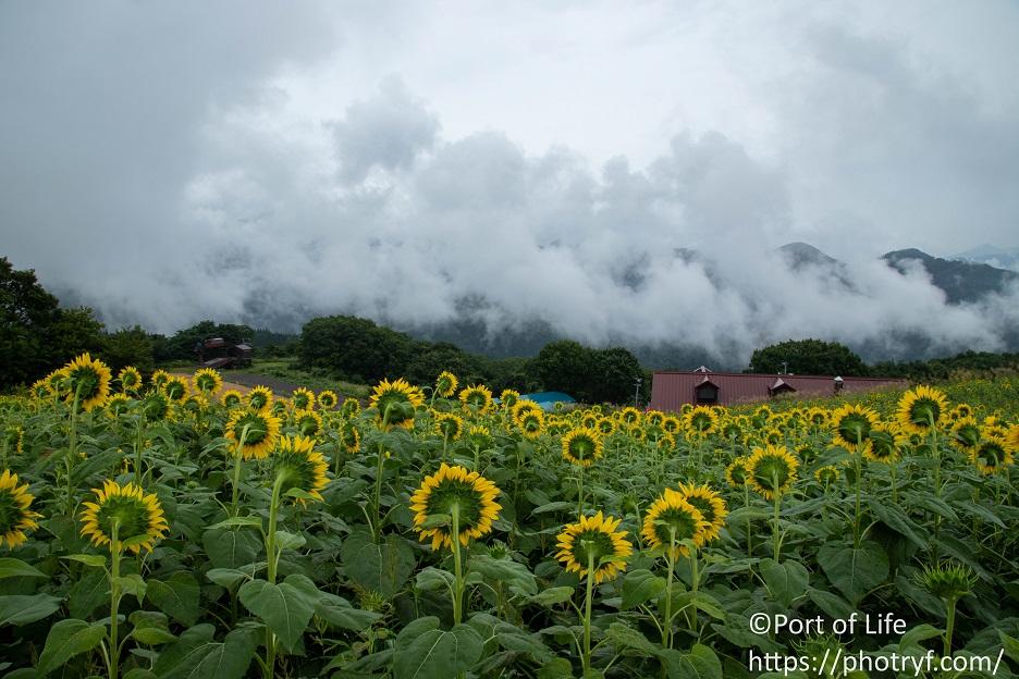 福島県喜多方市の三ノ倉高原ひまわり畑の様子