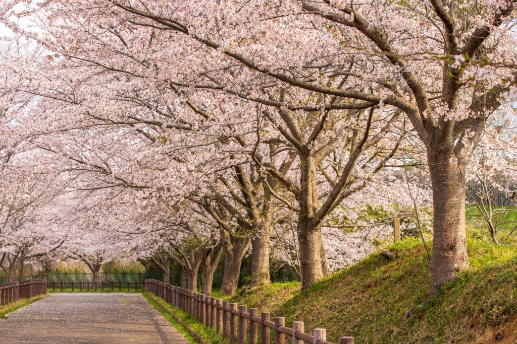 春に咲く桜の写真